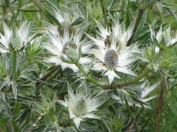 planta del sapo o Eryngium carlinae