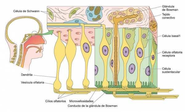 Neurona sensorial olfato