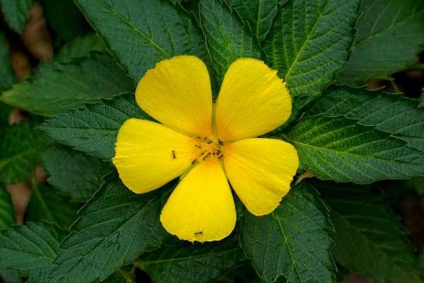 Damiana de California flores